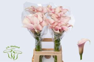 Calla Total Touch
